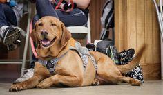 糖尿病探知犬は人間の息に含まれる化学物質から低血糖症を探知する英研究
