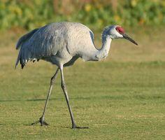 Sandhill crane in Florida