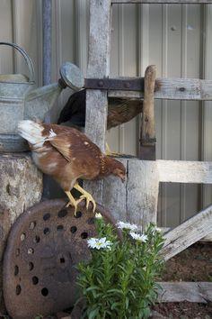 Farm:  #Chicken.