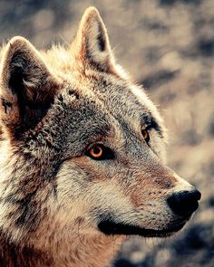 Pretty wolf It's awesome and it looks really cool