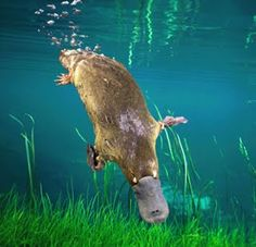 The platypus (Ornithorhynchus anatinus) is a semiaquatic mammal endemic to eastern Australia, including Tasmania. Together with the 4 species of echidna, it is 1 of the 5 extant species of monotremes, the only mammals that lay eggs instead of giving birth. The unusual appearance of this egg-laying, duck-billed, beaver-tailed, otter-footed mammal baffled naturalists. It is one of the few venomous mammals, the male platypus has a spur on the hind foot that delivers a painful venom.