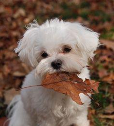 "Did someone say, ""just leaf me alone ?"" #maltese"