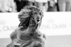 Afghan Hound, Dog Show, Milan, Lion Sculpture, Statue, Dogs, Photography, Art, Art Background