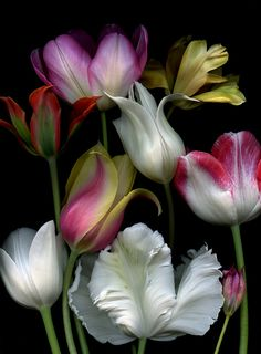 Beautiful Flowers ::: Tulips are so gorgeous! Amazing Flowers, My Flower, Beautiful Flowers, Beautiful Beautiful, Absolutely Gorgeous, Beautiful Things, Beautiful Dresses, Arte Floral, Ikebana