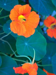nasturtiums - plant with cucumbers, squash, broccoli to repel bugs.