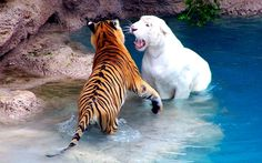 nice Tiger with White Tiger Wallpaper