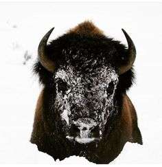 Voodoo buffalo, photographed by Siddharth Sharma at Yellowstone National Park.