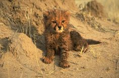 """baby cheetah pictures 
