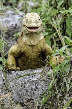 Smile - Endemic land iguana Santa Fe' Galapagos Islands