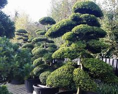 Topiary. Topiary Trees Specialist Nursery, London. UK