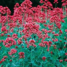 Jupiter's Beard (Centranthus Ruber Coccineus Red) - Attract hummingbirds, butterflies and bees to your garden by growing Jupiter's Beard from flower seeds...grows easy, in low water and fragrant