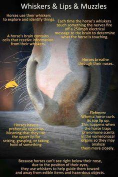Μη κόψετε στα αλόγα σας τις τρίχες από μύτη και στόμα ! DO NOT TRIM YOUR HORSES WHISKERS! Bitte niemals an den Tasthaaren deines Pferdes rumschneiden !