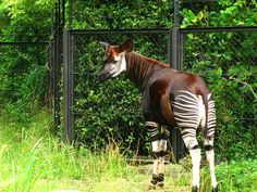 Okapi : Zoorasia Yokohama Zoological in Japan