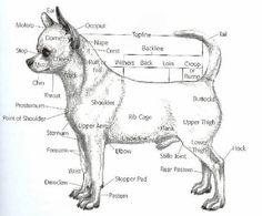 chihuahua, rasstandaard - Google zoeken