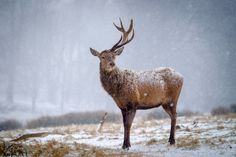 Deer photography in snow...  photography | tips | help | ideas | tuition | learn | inspiration