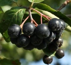 Aronia x prunifolia 'Viking' - Black Chokeberry Summer Pudding, Berry Plants, Eating Raw, Healthy Fruits, Smoothies, Blueberry, Herbalism, Berries, Yummy Food
