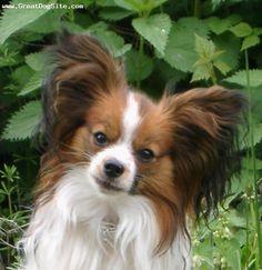 Papillon dog. Love that their ears look like butterflies. So cute!