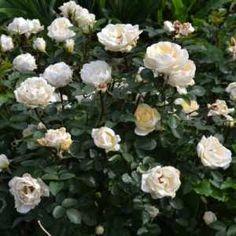 Роза канадская парковая Ж.П.Коннел купить, отзывы, описание | Zilli-on