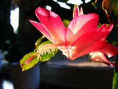 Mit 8 Megapixeln durch die Niederlausitz: Die Kaktusblüte  TheCactus flower  Osterkaktus be...