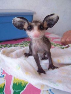a baby possum! - Wow - Wow images - a baby possum! The post a baby possum! appeared first on Gag Dad. Cute Creatures, Beautiful Creatures, Animals Beautiful, Cute Baby Animals, Animals And Pets, Funny Animals, Baby Opossum, Cute Animal Drawings, Tier Fotos