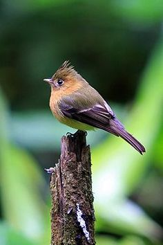 Mitrephanes phaeocercus -Costa Rica-8a.jpg