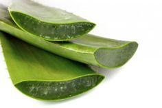 Tutti pazzi per aloe - La pianta dell'aloe produce naturalmente numerose sostanze benefiche per la salute, da bere o come unguento per la pelle - Parliamo di Cucina