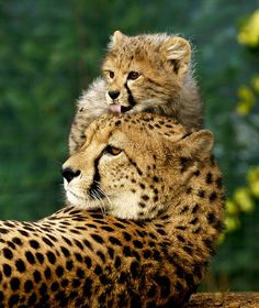 cheetah mum and cub (by mike seamons)
