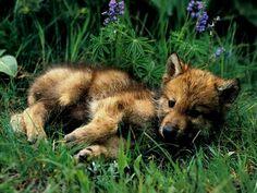 Wolf cub... Looks like my doggie