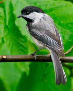 Black-capped Chickadee - Whatbird.com