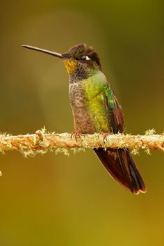 Purple-throated Mountain-gem  By: Ruben Campos