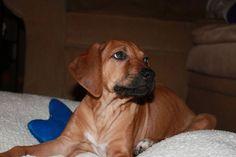 Our RR, Savannah as a puppy