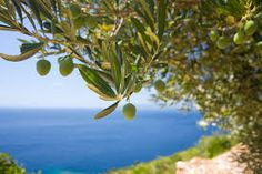 "The olive Listeni/ˈɒlɪv/ or Listeni/ˈɑːləv/, known by the botanical name Olea europaea, meaning ""european olive"", (syn. Olea sylvestris is a species of small tree in the family Oleaceae, found in much of Africa, the Mediterranean Basin from Portugal to the Levant, the Arabian Peninsula, and southern Asia as far east as China, as well as the Canary Islands, Mauritius and Réunion. The species is cultivated in many places and considered naturalized in Portugal, Spain, Algeria, France (including…"