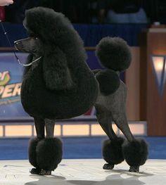 tiara standard poodles - Google Search