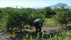 Disease sours #Mexico's lime groves