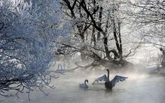 Swan Mother in Winter