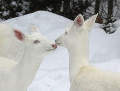 Albino White-tailed Deer of Boulder Junction Wisconsin - lifeinthenorthwoods Albino Deer, Rare Albino Animals, Boulder Junction, Deer Photos, Scenery Photography, Snow Angels, White Tail, Baby Deer, Ice Queen