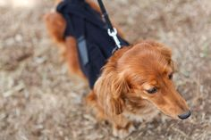 The patent pending Lil Back Bracer is designed to help keep your dog's back supported when dealing with Intervertebral Disk Disease (IVDD) and other back pain.