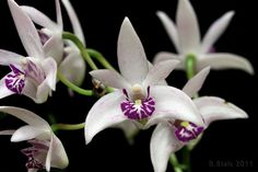 Dendrobium kingianum var silcockii