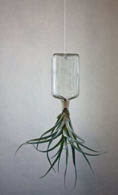air plant — love this idea for displaying these!