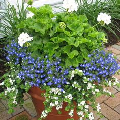 The blue flowers are lobelia and the white trailing flower is bacopa, and white geranium
