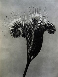 Title: Lacy Phacelia I Flower. About the Photographer:An artist, teacher, sculptor and photographer from Germany, Karl Blossfeldt – worked in Berlin. He was inspired by nature and reflected this muse in his close-up photography of plants. Karl Blossfeldt, Fine Art Photo, Photo Art, Natural Form Art, In Natura, White Plants, Botanical Art, Flower Photos, Macro Photography