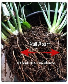 Repotting and Dividing Peace Lily House Plant Peace Lily Care, Peace Lily Plant, Lilly Plants, Jade Plants, Peace Lillies, Day Lilies, Garden Frogs, Veg Garden, Cedar Planter Box