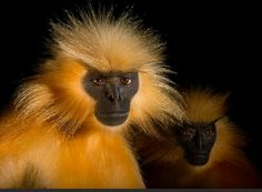 A pair of endangered Gee's golden langurs (Trachypithecus geei)