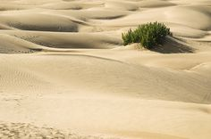 Soft sanddunes with a plant at Khuri near the golden city of Jaisalmer Rajasthan India