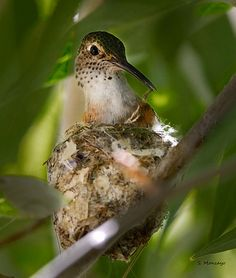 """Hummingbird mom...."""