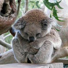 Baby Otters, Baby Koala, Baby Sloth, Cute Baby Animals, Animals And Pets, Wild Animals, Bear Cubs, Tiger Cubs, Koala Bears