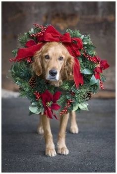 Golden retriever with Christmas colors