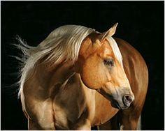 palomino horse. My dream horse