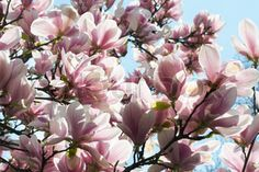Blossoming Twig Of Magnolia Tree On Blossom Background Stock