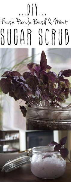 DIY Fresh Herb Body Scrub with mint and purple basil. Perfect fresh treat for the warm months!